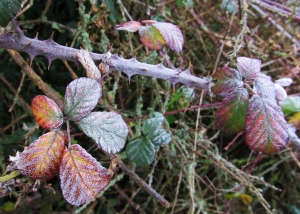 More frosted leaves in Southampton Road...