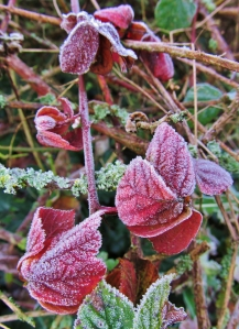 Frosted red leaves in Southampton Road...