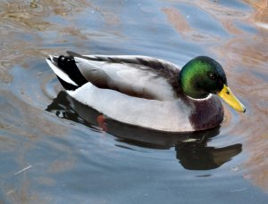 A Mallard Duck cruising the pond in Swan Lane Open Space...