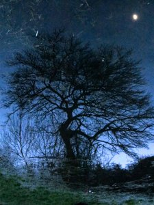 (Inverted) tree and moon reflected in the pond in Swan Lane Open Space, Whetstone...