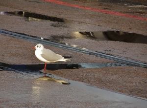 Seagull among puddles, at Town Quay...