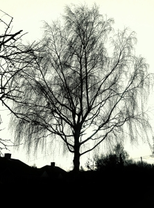 A silhouetted tree, in Titchfield Park Road, at lunchtime today...