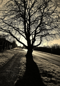 Tree in Southampton Road this morning, against the light...
